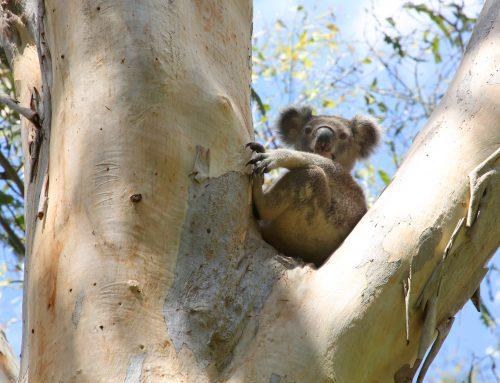 Koala video launched